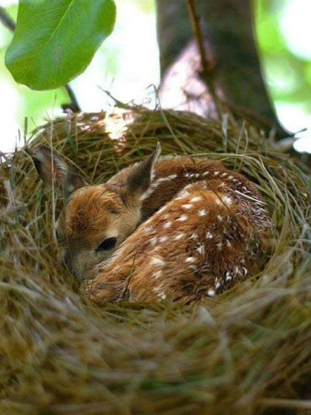Deer In Bird's Nest