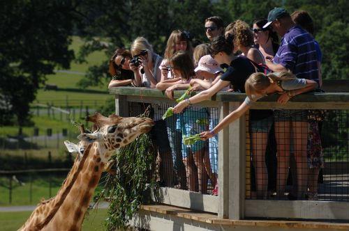african-village-giraffe-feeding