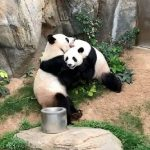 An empty zoo caused these struggling Panda bears to finally mate now that there are no humans around.